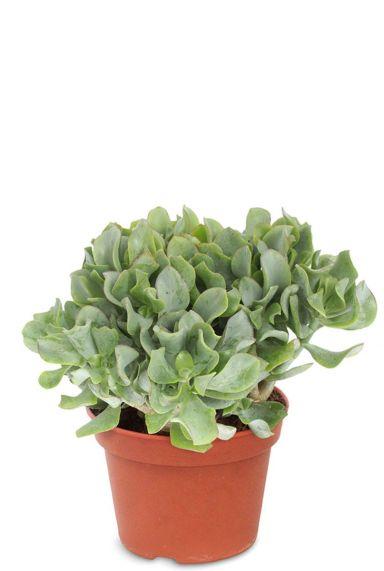 Crassula arborescens vetplant