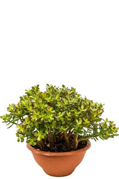 Crassula ovata minor kamerplant