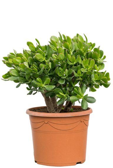 Crassula ovata vetplant