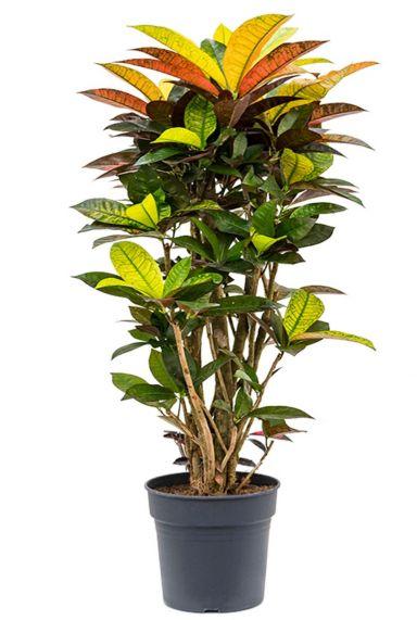 Croton codiaeum iceton plant