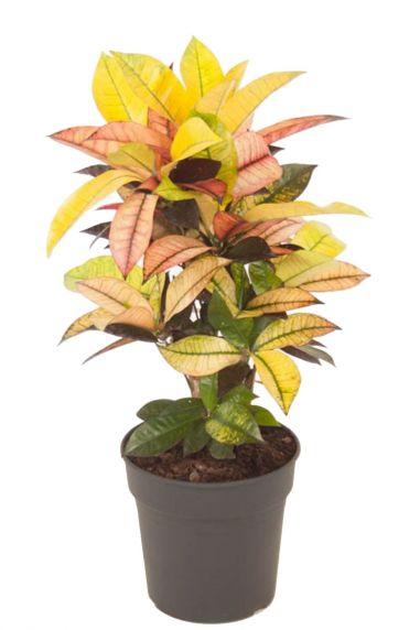 Croton kamerplant 2