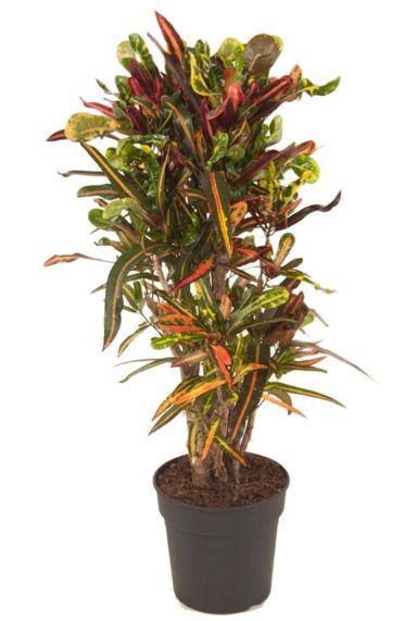 Croton kleurige kamerplant