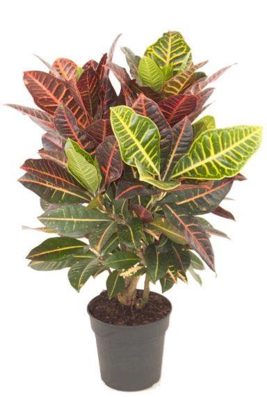 Croton kleurige kamerplant 1