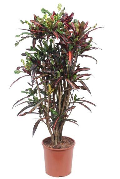 Croton mammi kleurige kamerplant