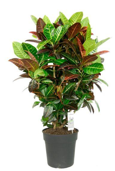 Croton petra kleurijke kamerplant