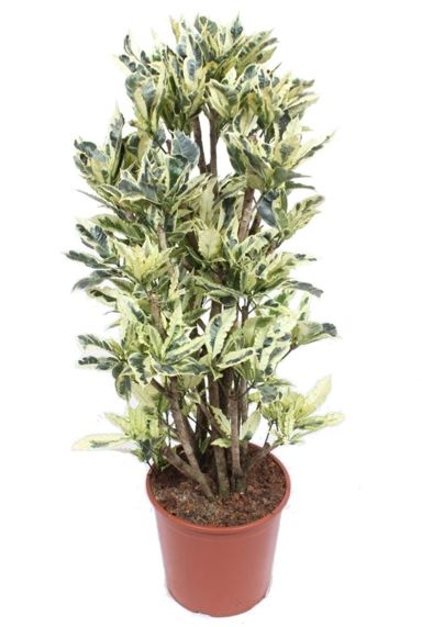 Croton tamara kamerplant