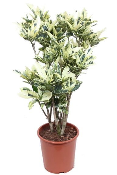 Croton tamara plant