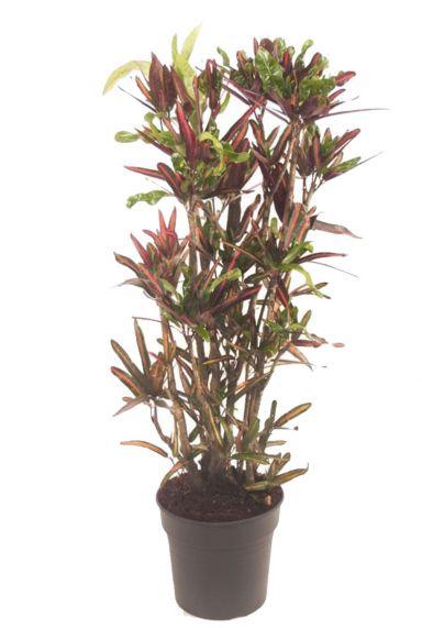 Croton variegatum mammi