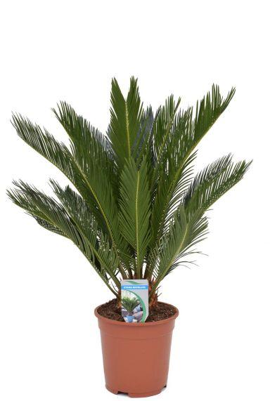 Cycas revoluta kamerplant 1