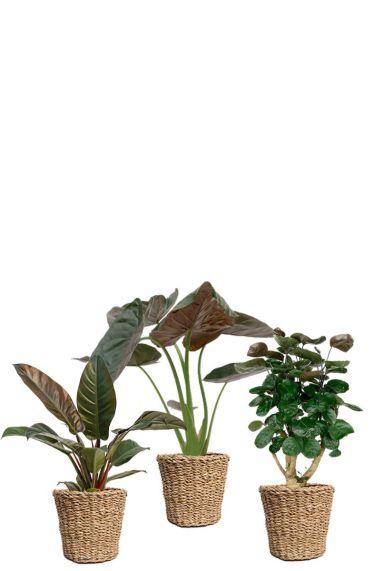 Donkergroene planten in mand
