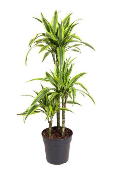 Dracaena-lemon-lime-plant
