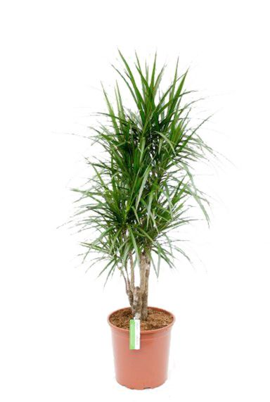 Dracaena-marginata-kamerplant-kopen-online