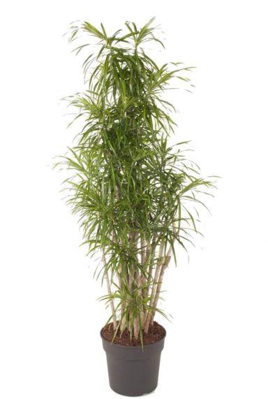 Dracaena anita vertakt plant