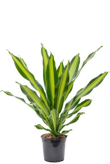 Dracaena burley kamerplant
