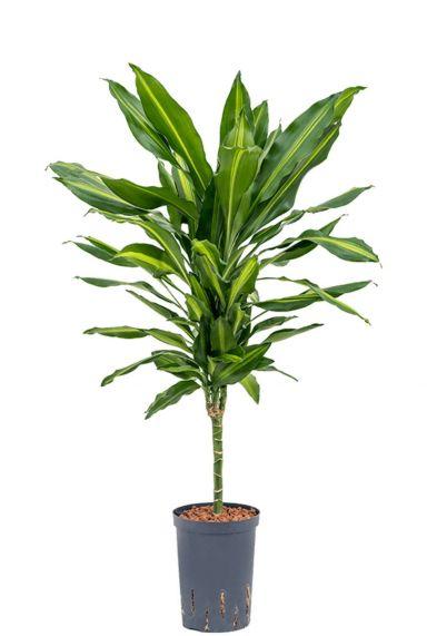 Dracaena cintho plant