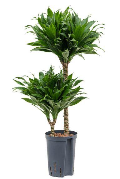 Dracaena compacta hydrocultuur kamerplant