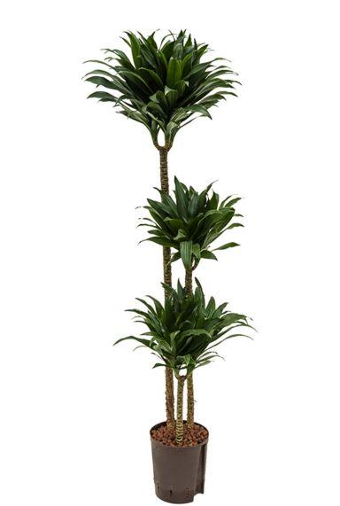 Dracaena compacta kamerplant 8