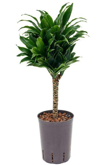 Dracaena compacta op stam