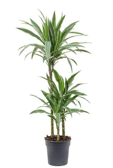 Dracaena deremensis warneckei kamerplant
