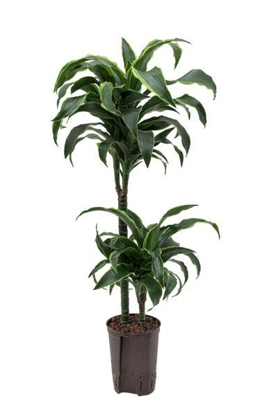 Dracaena dorado plant