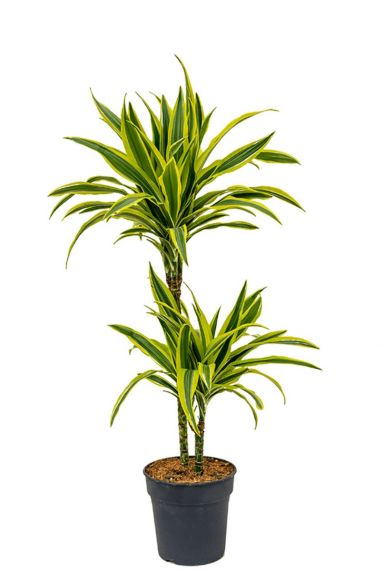 Dracaena fragrans lemon lime plant