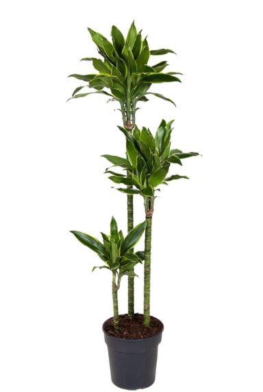 Dracaena golden coast plant 1