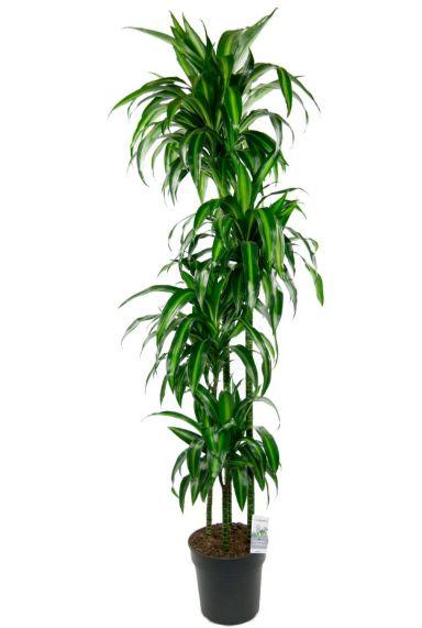 Dracaena hawaiian sunshine kamerplant 1