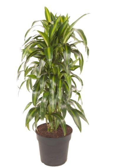 Dracaena hawaiiana kamerplant 1