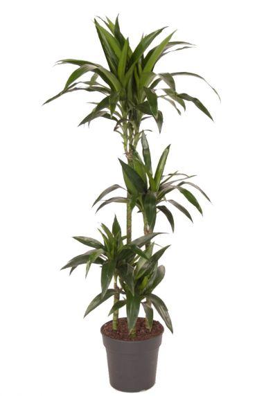 Dracaena janet craig binnenplant