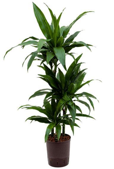 Dracaena janet craig hydrocultuur kamerplant