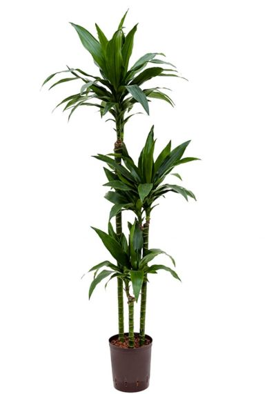 Dracaena janet craig hydrocultuur plant