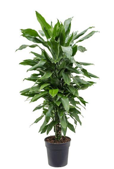 Dracaena janet craig plant 4