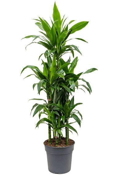 Dracaena janet lind grote kamerplant