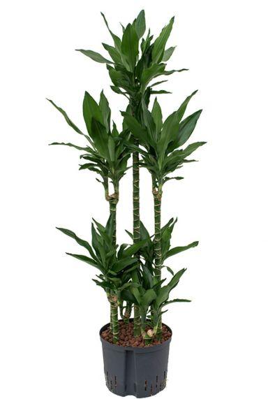 Dracaena janet lind hydro kamerplant