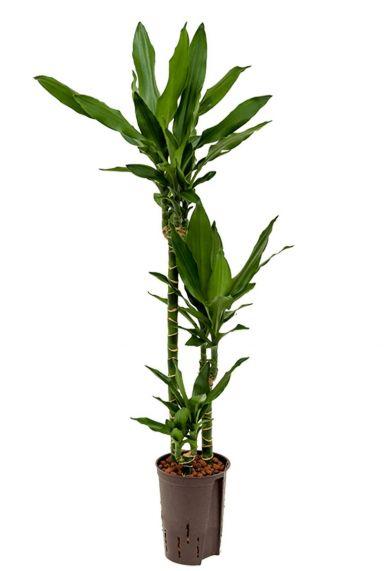 Dracaena janet lind hydro plant