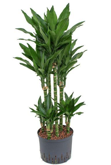 Dracaena janet lind hydrocultuur plant