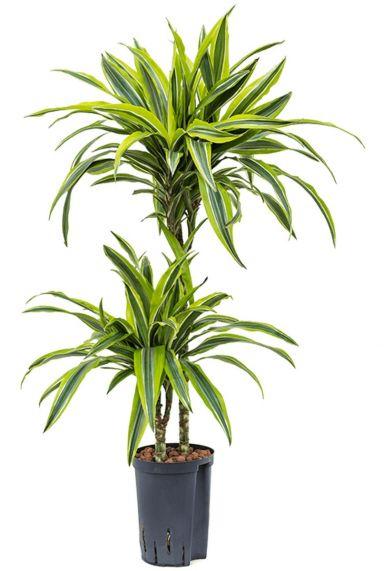Dracaena lemon lime hydrocultuur plant