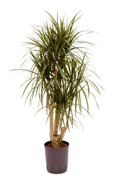 Dracaena marginata hydrocultuur