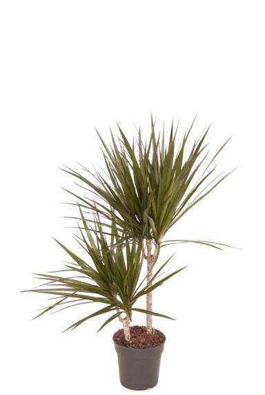 Dracaena marginata kamerplant 14