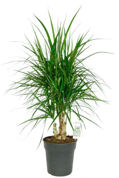 Dracaena marginata kamerplant 4