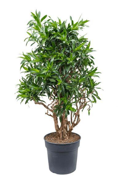 Dracaena reflexa song of jamaica plant