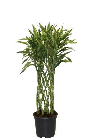 Dracaena sandriana white kamerplant