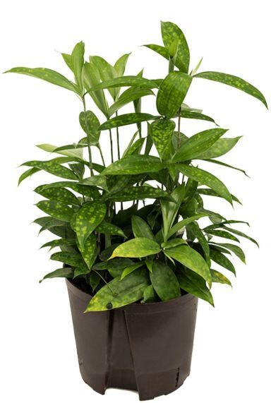 Dracaena surculosa hydrocultuur plant