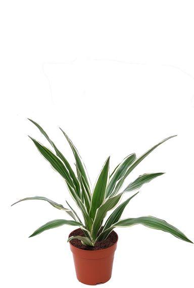 Dracaena white stripe plantje