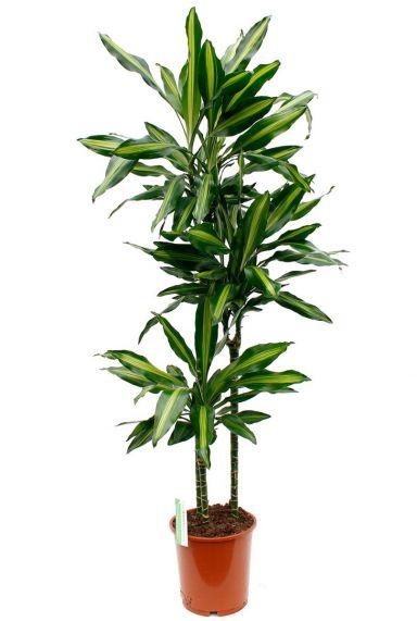 Dracaena Cintho kamerplant kopen bij 123planten