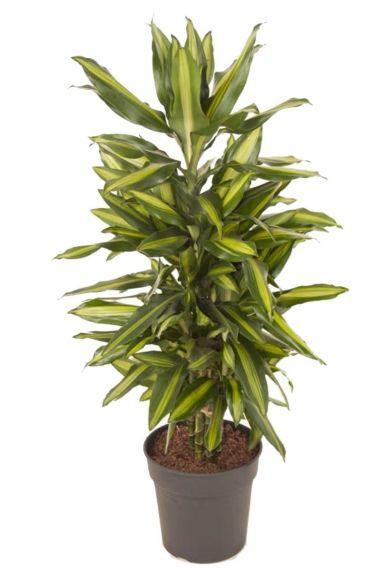 Dracaena fragrans Cintho kamerplant