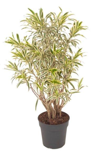 Dracaena reflexa Song of India kamerplanten