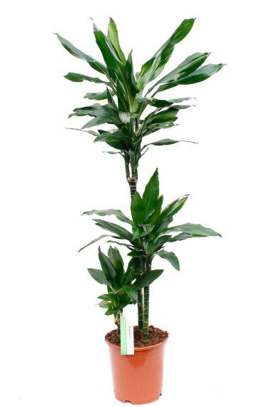 Leuke Dracaena Janet Lind kamerplanten online bestellen bij 123planten