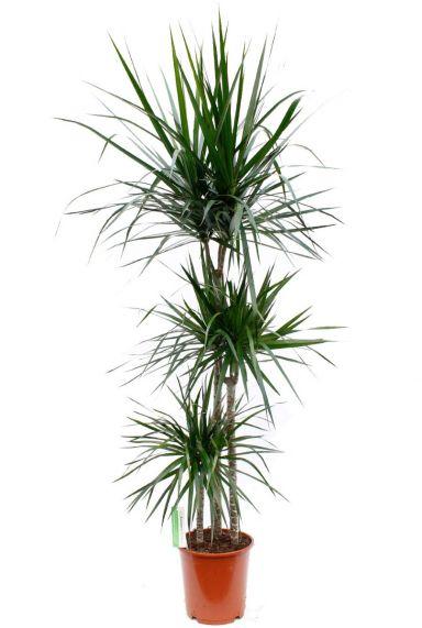 Grote Dracaena Marginata kamerplant bij 123planten