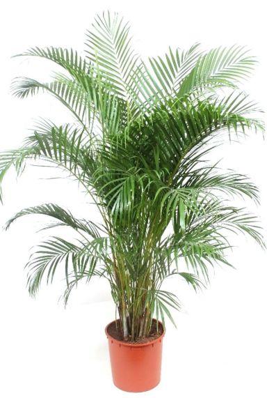 Prachtige grote Areca palm kamerplant
